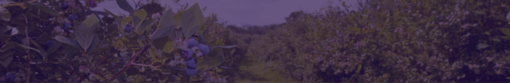 Arándanos ecológicos Campoberry